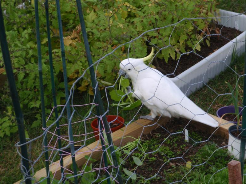 cockatoo in garden